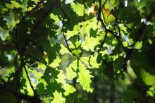 Eichenblätter im Hambacher Wald